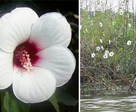 Hibiscus laevis