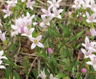 Houstonia canadensis