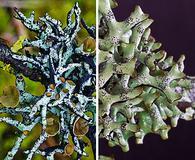 Hypogymnia imshaugii