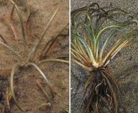 Isoetes lacustris
