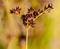 Juncus trigonocarpus