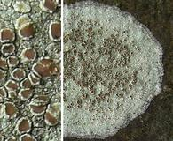 Lecanora hybocarpa