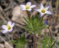 Leptosiphon bicolor