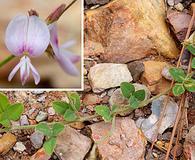 Lespedeza procumbens