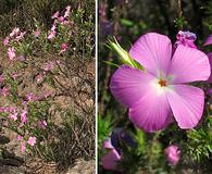 Linanthus californicus
