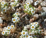 Linanthus maculatus