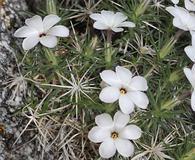 Linanthus watsonii