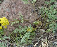 Lomatium donnellii