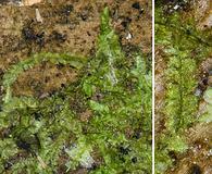 Lophocolea heterophylla