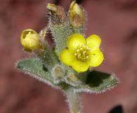 Mentzelia albicaulis