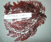 Microcladia coulteri