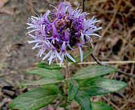Monardella hypoleuca