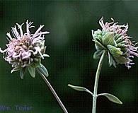 Monardella viridis