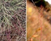 Muhlenbergia paniculata