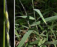 Muhlenbergia tenuiflora
