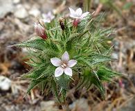 Navarretia atractyloides