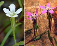 Navarretia capillaris
