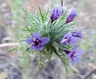 Navarretia pubescens
