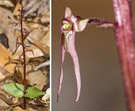 Neottia bifolia