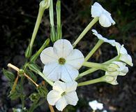 Nicotiana acuminata
