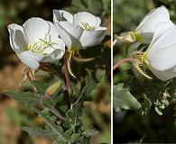 Oenothera engelmannii