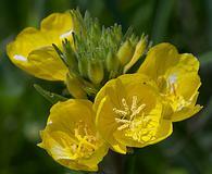Oenothera pilosella