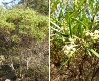 Ornithostaphylos oppositifolia