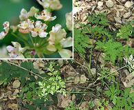 Osmorhiza brachypoda