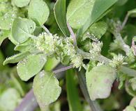 Parietaria floridana