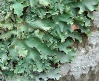 Parmotrema subisidiosum