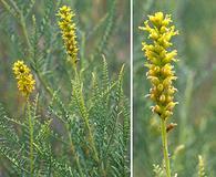 Parryella filifolia