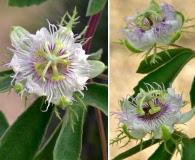 Passiflora arizonica