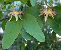 Passiflora mexicana