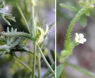 Pectocarya peninsularis