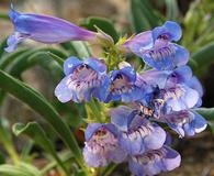 Penstemon speciosus