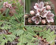 Phacelia arizonica