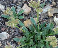 Phacelia corymbosa