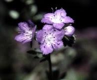 Phacelia gilioides