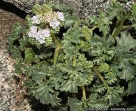 Phacelia pedicellata