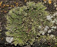 Phaeophyscia hirsuta