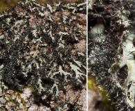Phaeophyscia kairamoi