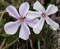 Phlox alyssifolia