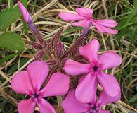 Phlox amoena