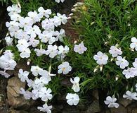 Phlox multiflora