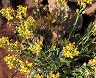 Physaria newberryi