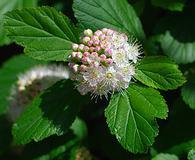Physocarpus intermedius