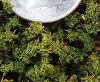Plagiomnium venustum