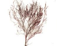Polysiphonia stricta