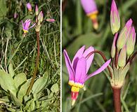 Primula pauciflora
