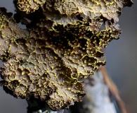 Pseudocyphellaria crocata